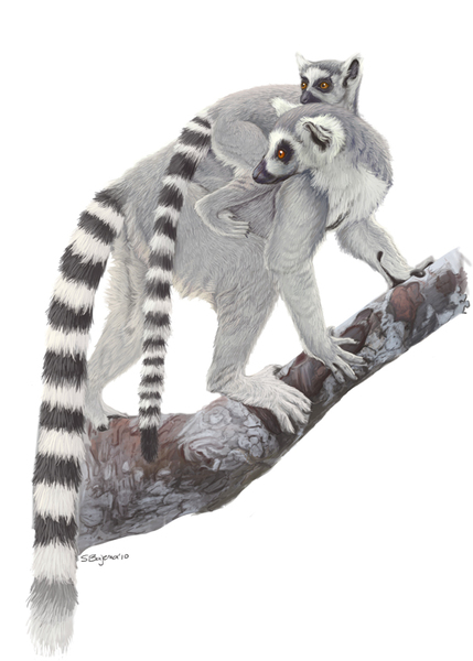 Ring Tailed Critter Similar To A Raccoon