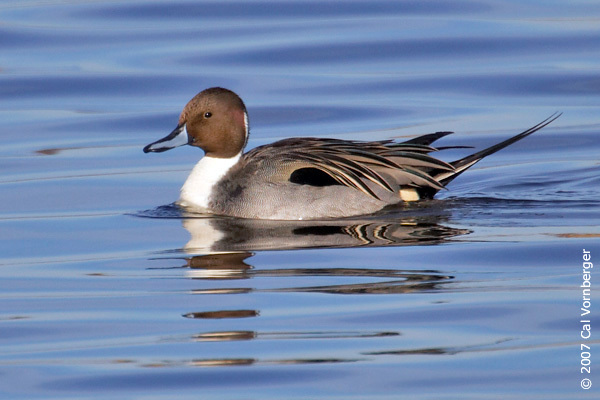Npintail11