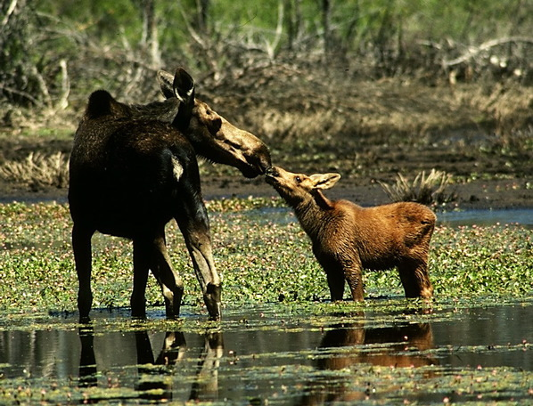 moose_female_and_calf