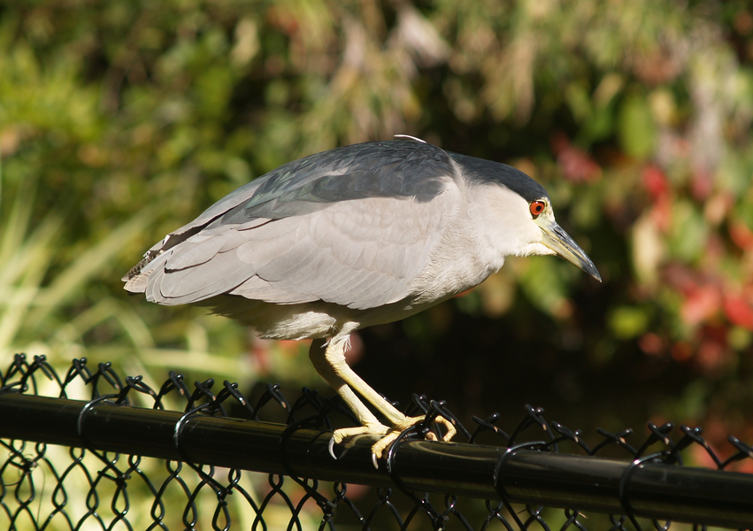 Nycticorax11