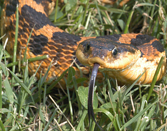 2004_0705_Eastern_Hognose