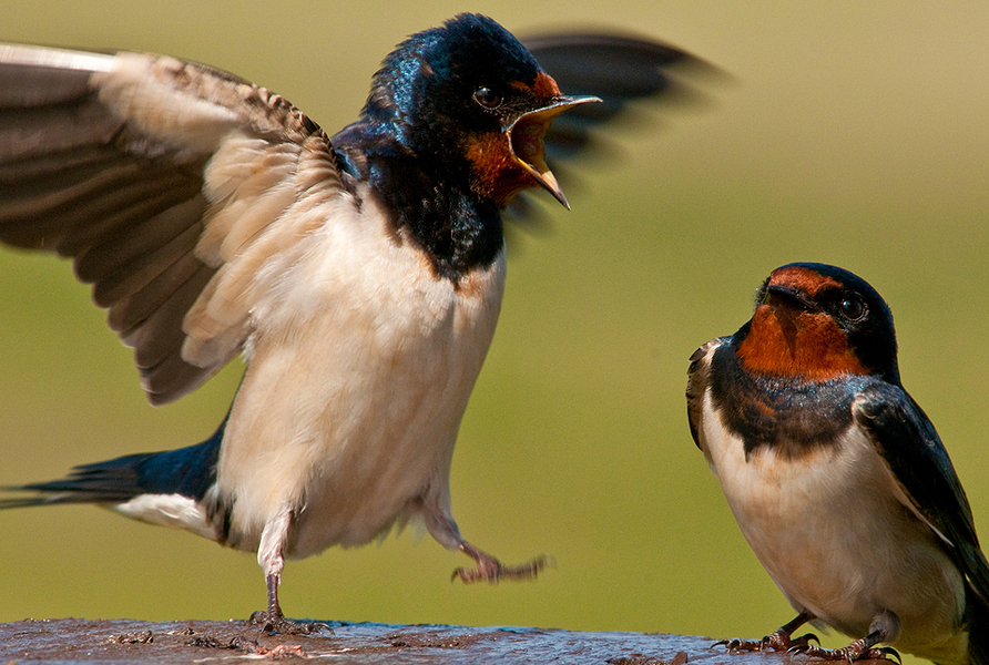 2009-0518_Swallows2