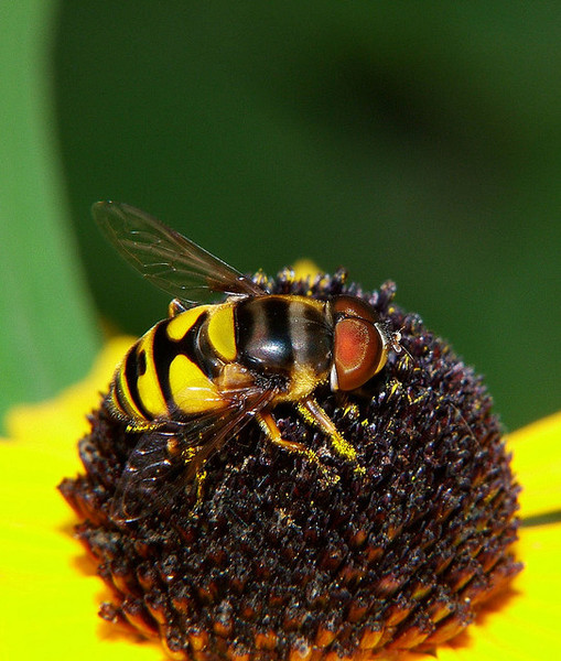 syrphidfly