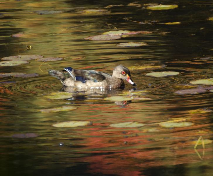 BioKIDS - Kids\' Inquiry of Diverse Species, Anseriformes, ducks ...