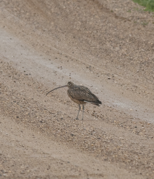 curlew7738