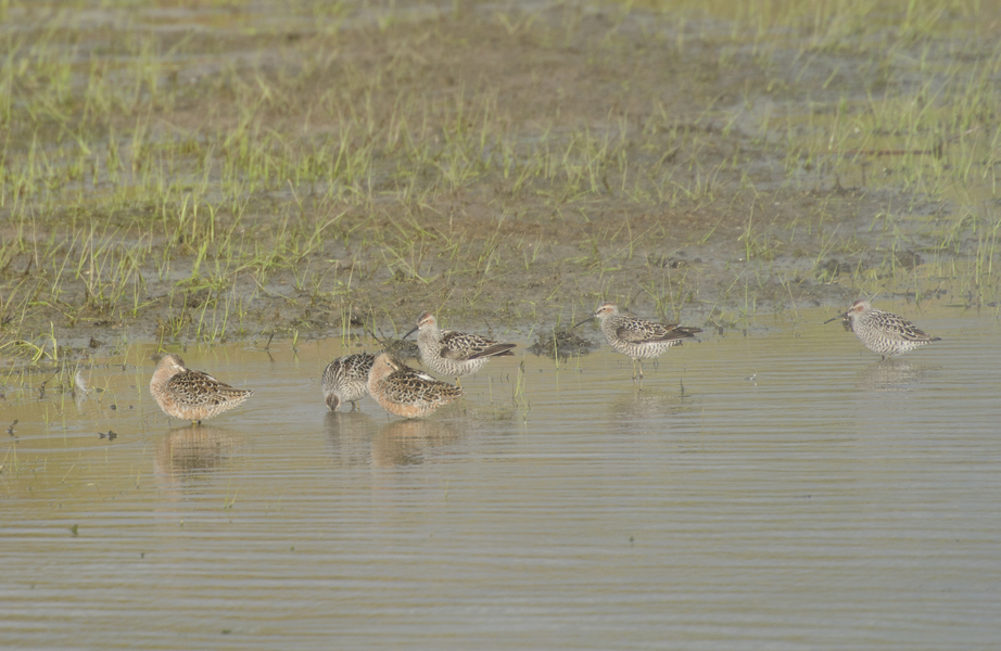 dowitchers7021