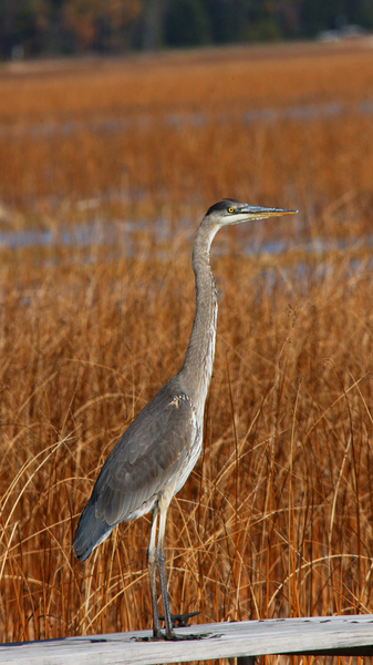great_blue_heron6535