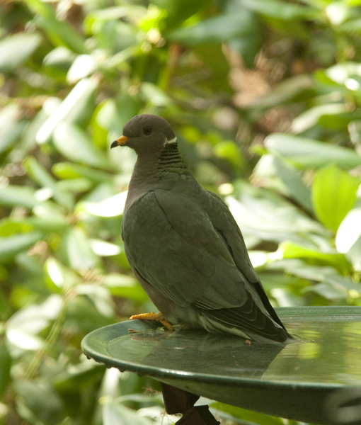 bandtailed_pigeon9331