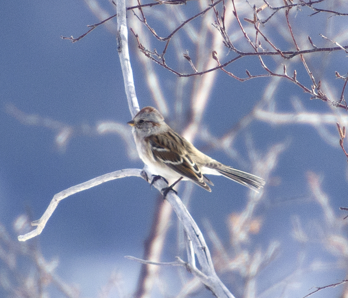 chipping_sparrow5703