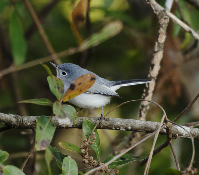 gnatcatcher8441