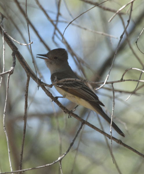 flycatcher0903