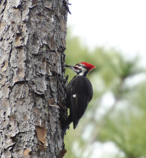 pileated8543