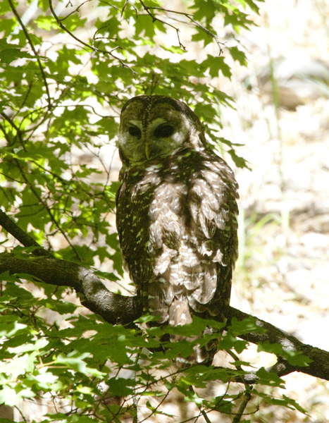 spotted_owl0823