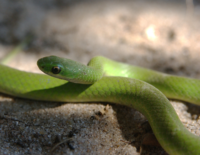 greensnake6348