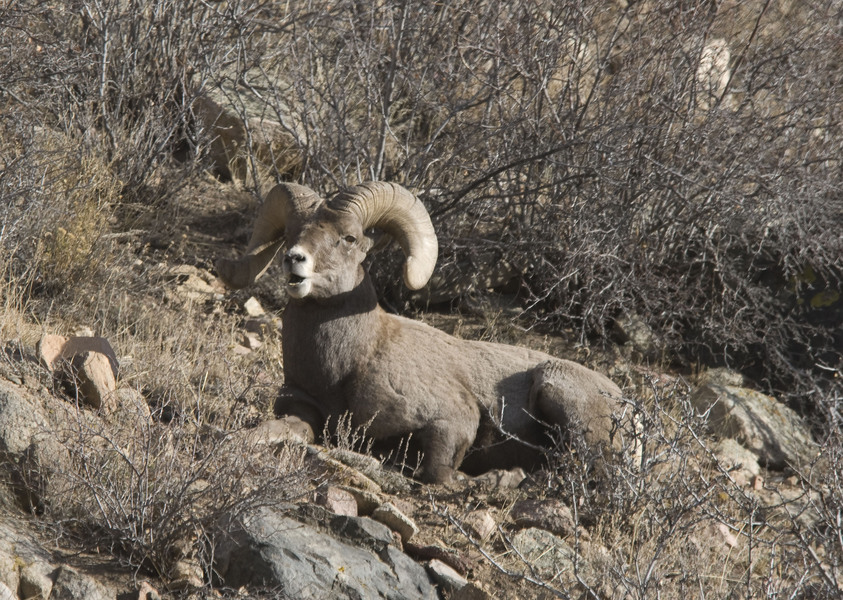 Ovis_canadensis5900