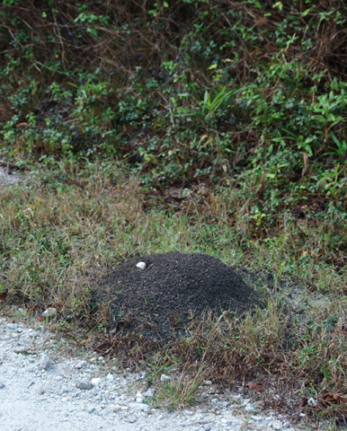 fire_ant_mound1