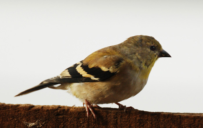 goldfinch_winter