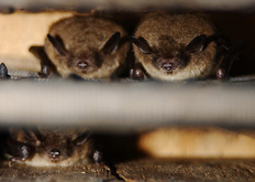 Biokids Kids Inquiry Of Diverse Species Myotis