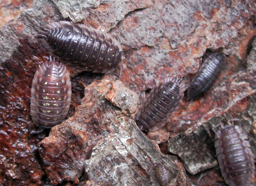 pillbugs1
