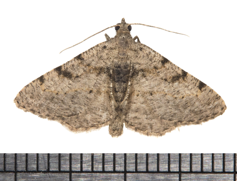 Digrammia5790