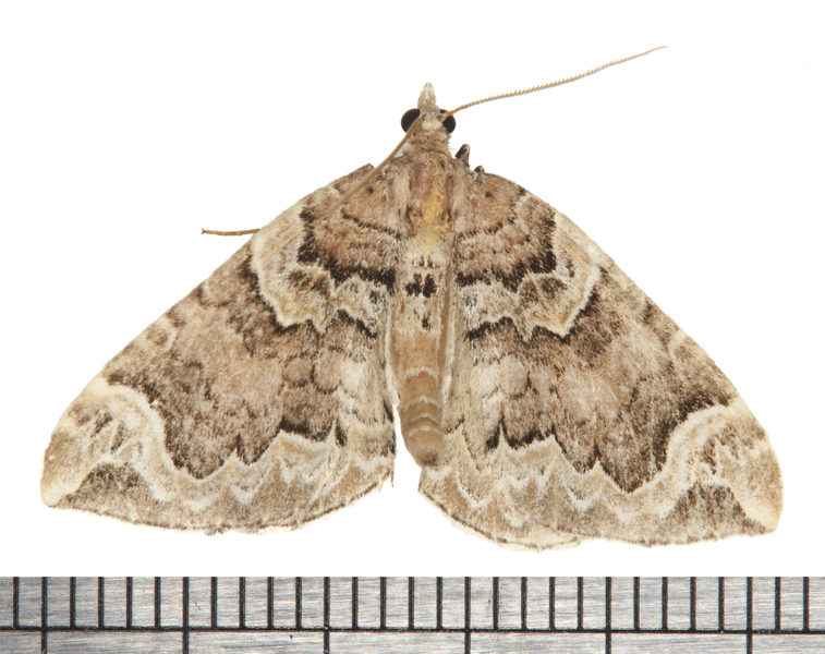Eulithis6159
