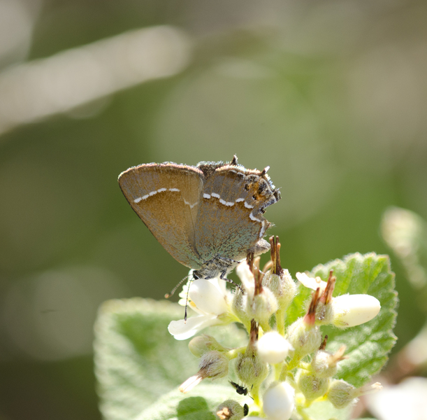 Callophrys2657