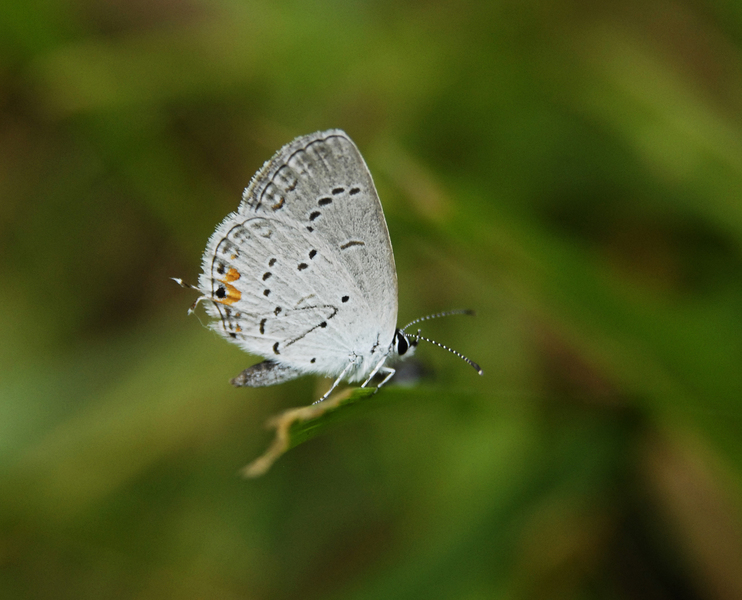 tailed_blue5132