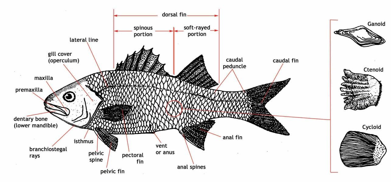 Фото дыхательная система рыб 3