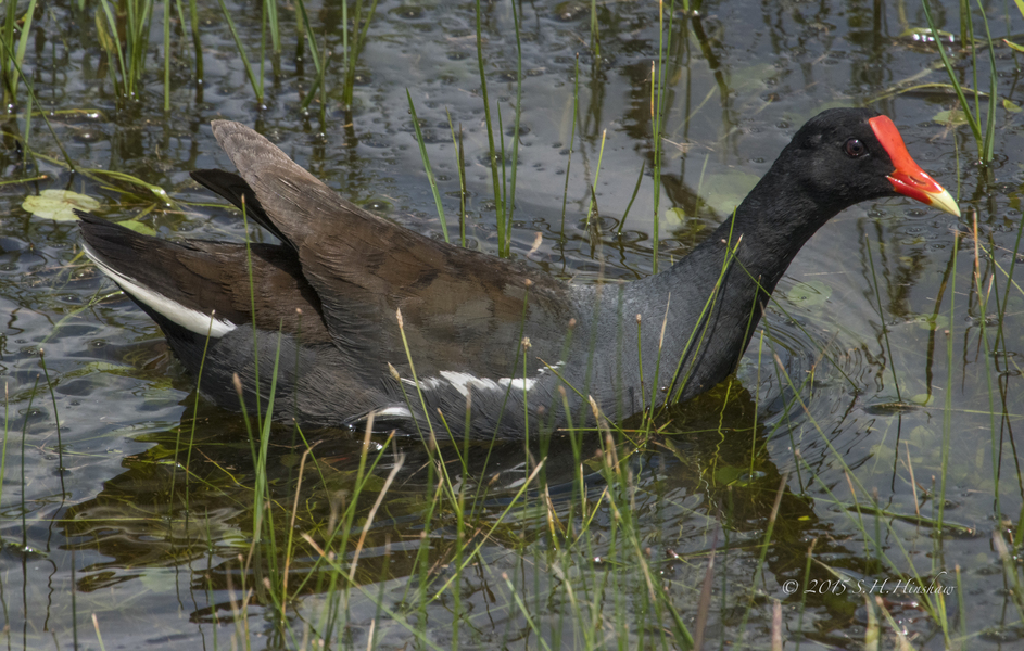 Common_Moorhen-SHH_2712