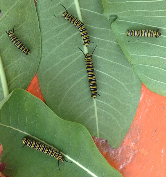 monarch-larvae