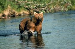Biokids Kids Inquiry Of Diverse Species Ursus Arctos Brown Bear Information