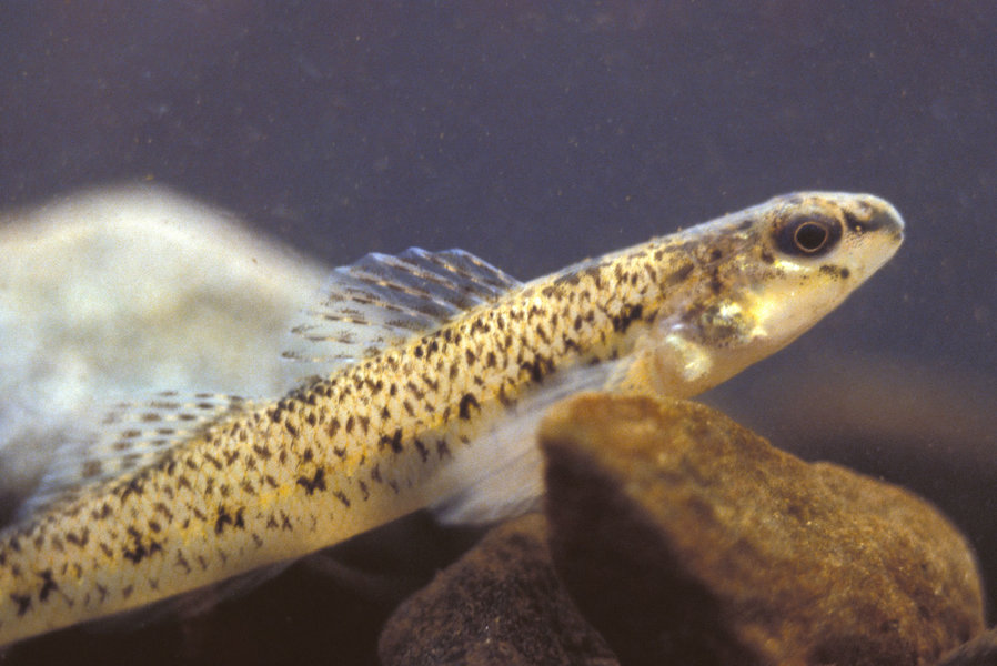 Etheostoma nigrum