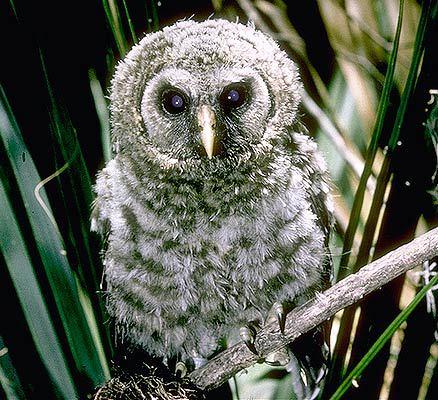 barred owlstrix varia essay