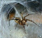 Photo of Agelenopsis pennsylvanica in funnel web