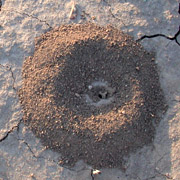 Photo of ant mound in empty lot