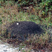 Photo of fire ant mound