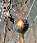 Photo of goldenrod gall (in fall)