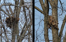Photo of 2 Gray Squirrel nests in trees