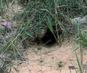 Photo of opening to Ground Squirrel burrow