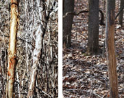 Photos of antler damage on trees