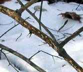Photo of rabbit browse marks on a branch