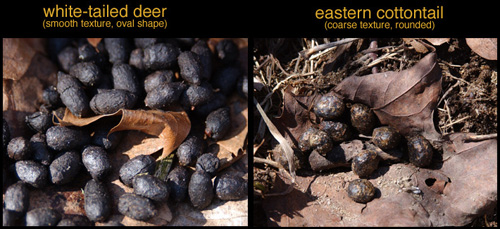 side-by-side comparison of White-tailed Deer and Eastern Cottontail droppings