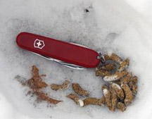 photo of grouse droppings in the snow, with pocket knife for scale reference