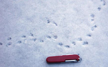 photo of shrew tracks in snow, with pocket knife as size reference