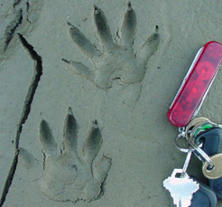 photo of raccoon tracks, with keys for size reference