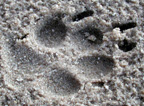 photo of dog track in sand