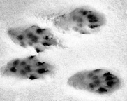 photo of Eastern Fox Squirrel tracks in snow