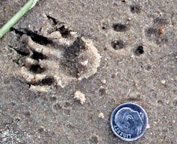 photo of Eastern Gray Squirrel tracks in sand