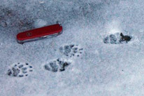 photo of skunk tracks in snow, with pocket knife as size reference
