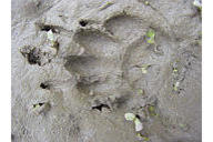 photo of Skunk track in sand
